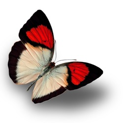 Beautiful Red butterfly upper wing profile flying up.
