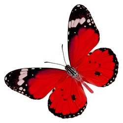 Beautiful Red butterfly upper wing profile isolated on white background