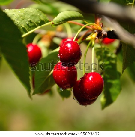Beautiful red cherries hanging from the branch and wet with little water drops
