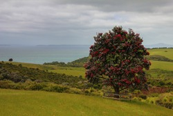Beautiful red Christmas tree (Metrosideros excelsa or pohutukawa tree or iron tree)on green meadow. Calm blue sea in background. Cloudy weather. New Zealand, North islans.