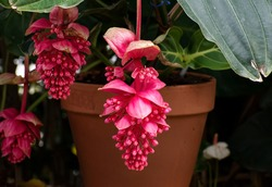 Beautiful, red, closed showy medinilla magnifica, Philippine orchid or rose grape flower hanging down against a blurred nature background with flowers, green leaves and a pot.
