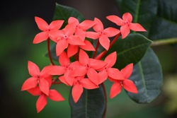 beautiful red color  Ixora coccinea  jungle geranium  flame of the woods flower blooms