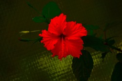 beautiful red colour ibiscus flower
