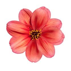 Beautiful Red Dahlia Flower Isolated on White Background