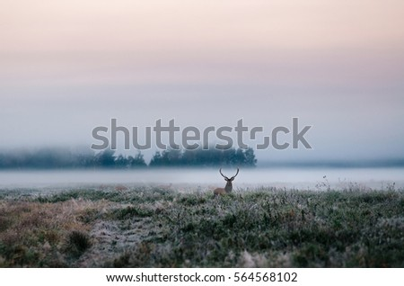 Beautiful red deer stag on the snowy field near the foggy misty forest landscape in autumn in Belarus. #564568102