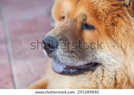 beautiful red dog chow, close-up