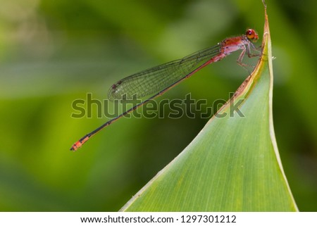 beautiful red dragonfly  on the green leaf with nature green blur background #1297301212