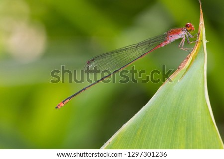 beautiful red dragonfly  on the green leaf with nature green blur background #1297301236
