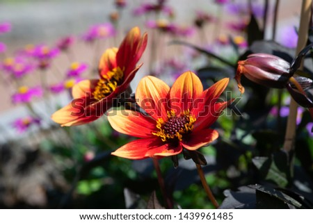 Beautiful red flower with yellow tips #1439961485