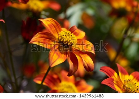 Beautiful red flower with yellow tips #1439961488