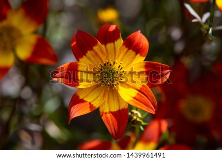 Beautiful red flower with yellow tips #1439961491