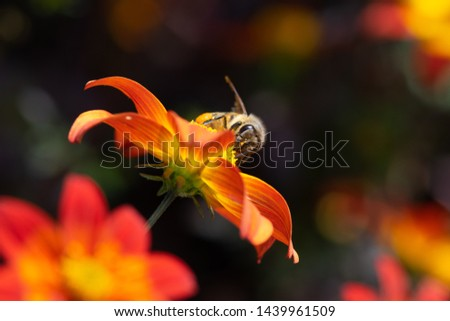 Beautiful red flower with yellow tips and a bee #1439961509