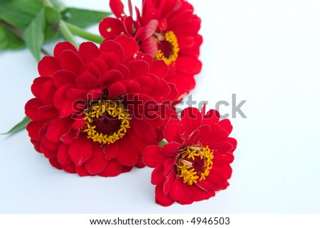 beautiful red flowers isolated on white background