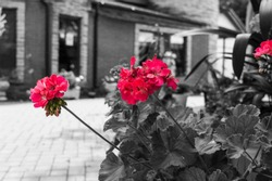 Beautiful red flowers on a black and white photo background