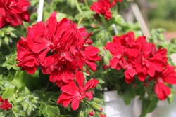 Beautiful red geranium flower in the garden. Red gum, ivy sardinia