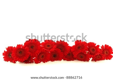 beautiful red Gerbera on background