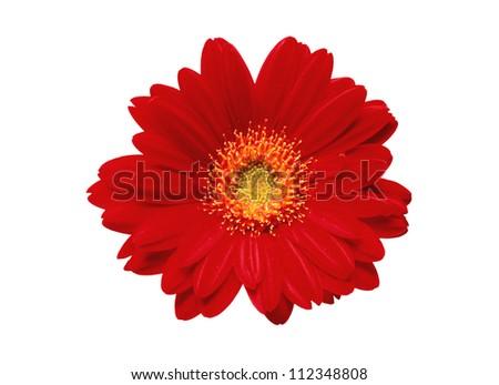 Beautiful red gerbera on white background