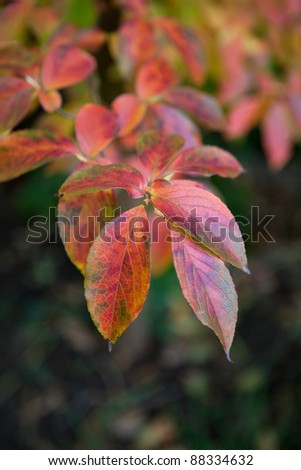 Beautiful red, green and yellow pseudocamillia stewartia tree leaves