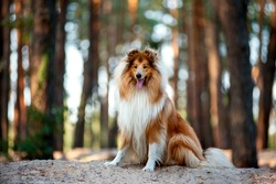 Beautiful red-haired fluffy dog collie sitting on a hill in a forest in the warm light. Dog with his tongue hanging out