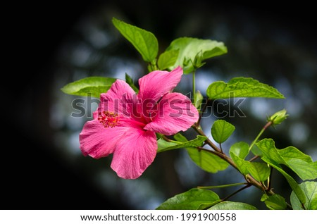 Beautiful red hibiscus flower (Hibiscus rosa sinensis) on dark nature background. Karkade in the tropical garden. Hibiscus flower Jaswand Plant. Tropical Hawaiian Hibiscus flower