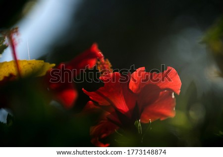 Beautiful red hibiscus flower (Hibiscus rosa sinensis) on green nature background. Karkade in the tropical garden. Hibiscus flower Jaswand Plant. Tropical Hawaiian Hibiscus flower
