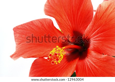 Beautiful red hibiscus flower on a white background