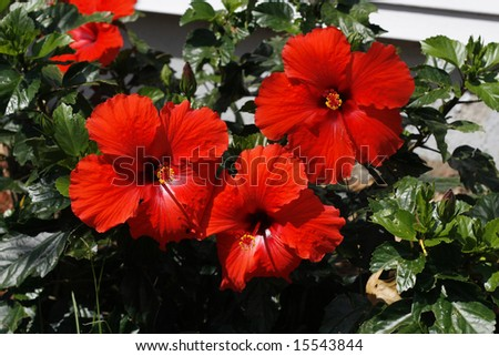 beautiful red hibiscus flowers