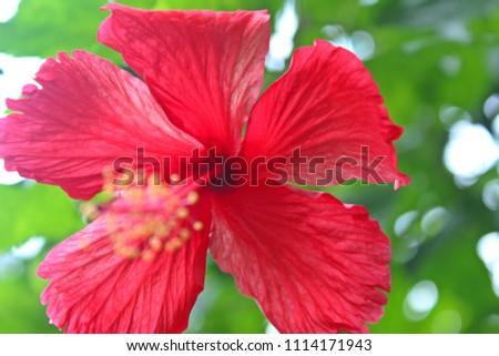 Beautiful Red Hibiscus, Malvaceae,rose mallow( ἰβίσκος,hibiskos)In the Garden with green Background