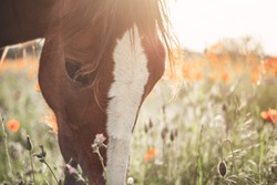 Beautiful red horse with long black mane in spring field with poppy flowers. Horse grazing on the meadow at sunrise. Horse is walking and eating green grass in the field. Beautiful background
