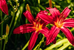 Beautiful red lilium flower with blurred background at the flower garden.