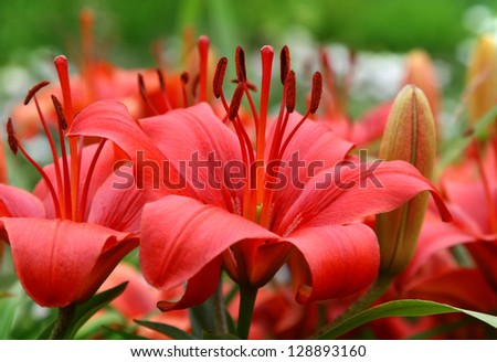 Beautiful red Lily - stock photo