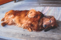 Beautiful Red Long-haired grown up adult Dachshund dog portrait