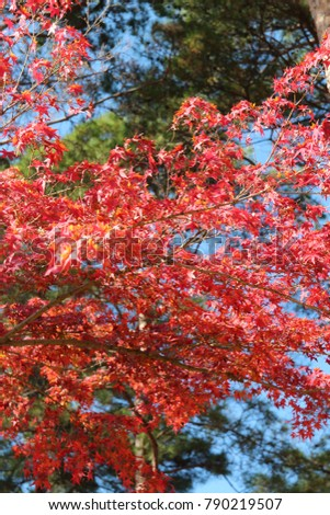 Beautiful red maples blazes brightly in sunny day with the blurred green leaves background in autumn, South Korea #790219507
