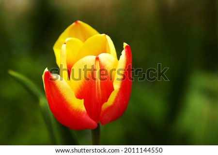 Beautiful Red'n Yellow Tulip on Blurred Green Background Foto stock ©