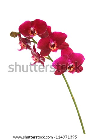 Beautiful red orchid on a white background closeup