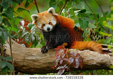 Beautiful Red panda lying on the tree with green leaves. Red panda bear, Ailurus fulgens, habitat. Detail face portrait of animal from China. Wildlife scene from Asian forest.