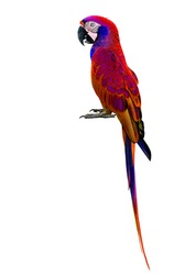 Beautiful Red Parrot Macaw bird isolated on white background