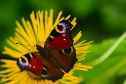 Beautiful red peacock butterfly on yellow flower on green background