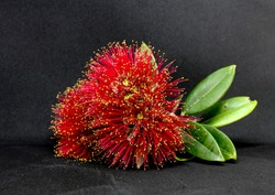 Beautiful red pohutukawa flowers in full bloom have been picked from the tree.