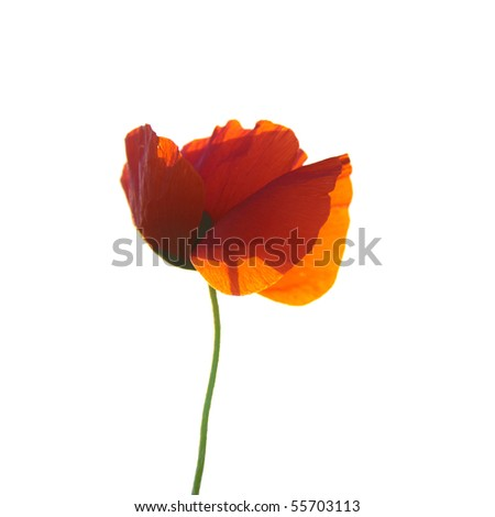 Beautiful red poppie isolated on white background