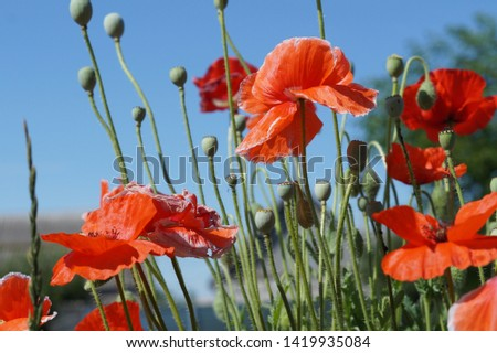 Beautiful red poppies blooming in the meadow, daylight, natural, summer landscape. Red poppies, field, summer. Red poppy field summer view. Red poppies flowers field in summer.Boxes of poppy seeds.
