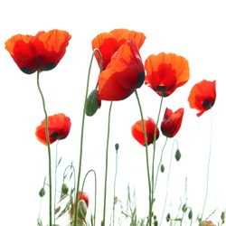 Beautiful red poppies isolated on white background