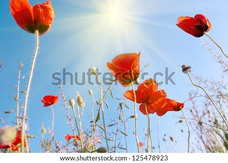 Beautiful red poppies on the blue sunny sky background