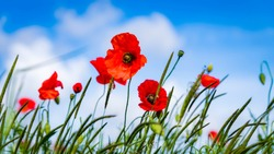 Beautiful red poppies, summers day. Symbol of rememberance sunday. Countryside background.