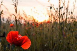 Beautiful red poppy flower close-up with control light of the golden hour sunset shining through petals in a wild poppies field on hot summer evening twilight. Nature landscape photo with copy space.
