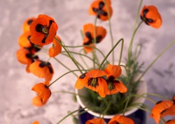 Beautiful red poppy flowers in vase a grey home decor background.