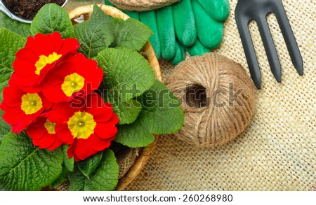 Beautiful red primula in flowerpot and gardening tools. Gardening tools.