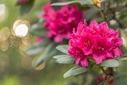 Beautiful red rhododendron flower in garden with magic bokeh. Beautiful red rhododendron flower closeup. red Rhododendron flower on magic bokeh background.
