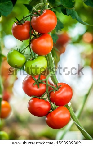 Beautiful red ripe tomatoes grown in a greenhouse. Delicious red tomatoes hanging on the vine of a tomato plant