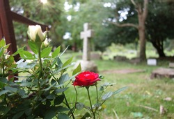 Beautiful red rose blooming in church yard. Space to add text on blurry white rose, leaves, cemetery green grass, cross headstone & trees in background. Christianity, memorial, funeral flower concept.